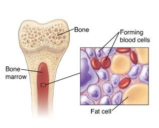 Blood bone marrow